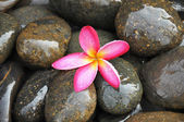 Fresh pink flower on river stones — Stock Photo
