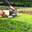 Stock Photo: Gardener trimming hedge with trimmer machine