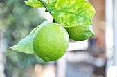 Limones verdes en el árbol — Foto de Stock