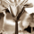Lotus or water lilly flower - sepia effect — Stock Photo