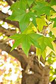 Liquid Amber leaves — Stock Photo
