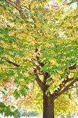 Branches of Liquid Amber tree — Stock Photo