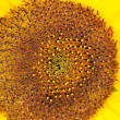 Stock Photo: Sunflower pollen