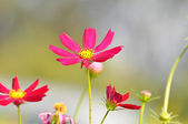 Red and pink Cosmos flowers — Stock Photo