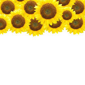 Sunflowers - border design — Stock Photo