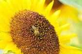 Sunflower pollen with a bee — ストック写真