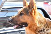 Alsation or German Shepherd dog — Stock fotografie
