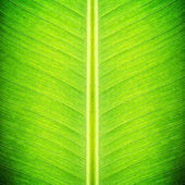 Green banana leaf texture - natural background — Stock Photo