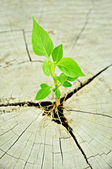 Green seedling growing from tree stump - regeneration and development concept — Stock Photo