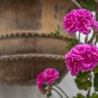 Geraniums - Stock Photo