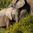 Elephant Cow and Calf — Stock Photo