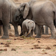 Elephant Herd — Stock Photo #24267743