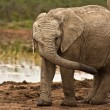 An elephant calf at the waterhole — Stock Photo