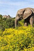 大象母牛 — 图库照片