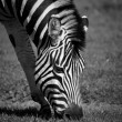 Zebra Grazing — Foto Stock #24771607