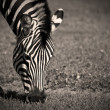 Stock Photo: Zebra Grazing
