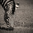 Stockfoto: Zebra Grazing