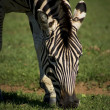 Zebra Grazing — Photo #24772039