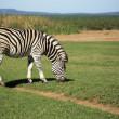 放牧的斑马 — 图库照片