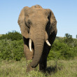 Collard elephant bull — Stock Photo
