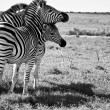 Playful Zebras — Stock Photo