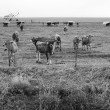 Curious cows gathering at the fence on an overcast afternoon as the fog is rolling over the mountains — Stock Photo