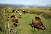 Cows grazing on a farm — Stock Photo
