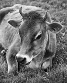 A cow lying on the grass — Stok fotoğraf