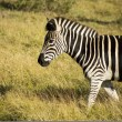 Profile view of a zebra — Stock Photo
