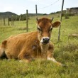 A beautiful cow lying in the grass — Stock Photo