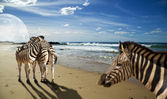 Zebras standing on the beach — Stock Photo