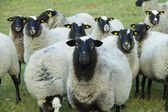 Herd of sheep grazing — Stock Photo