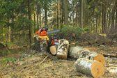 Hazard tree felling — Stock Photo