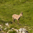 Capra Ibex - Stambecco (young) - Stock Photo