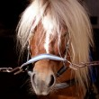 Cute Shetland pony in stable - Stock Photo