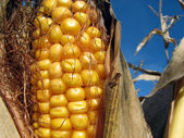 Golden corn and the blue sky — Stock Photo