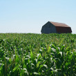 Wooden barn in green cornfield — Stock Photo
