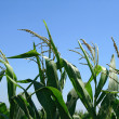 Green corn plants — Stock Photo