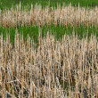 Wild reeds in marshland — Stock Photo