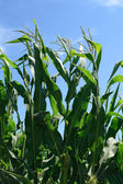 Green corn plants and blue sky — Stock Photo