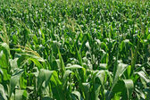 Zelená kukuřičném pozadí — Stock fotografie