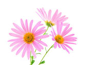 Pink gerbera daisies — Stock Photo