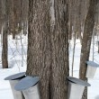 Maple syrup production, springtime — 图库照片 #21845903