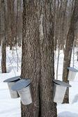 Maple siroop productie, lente — Stockfoto