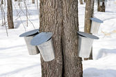 Metal pails for collecting maple sap — Stock Photo