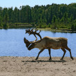 Stock Photo: Woodland caribou