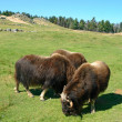 Musk oxen (Ovibos moschatus) - Stock Photo