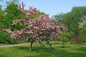 Krásný růžový kvetoucí strom — Stock fotografie