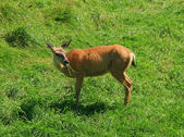 White-tailed deer eating grass — Stock Photo