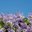Blooming lilacs on blue sky background - Stock Photo